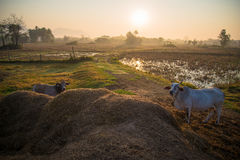 Cows in rice fields Stock Photos