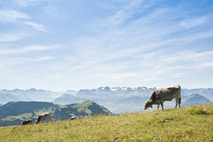 Cows on Rigi Mountain, Switzerland Stock Photo