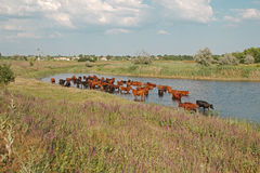 Cows in the river Stock Photos