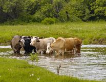 Cows at the river stock photo