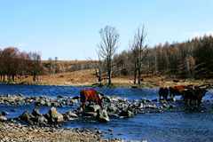 Cows and the river. The photo was taken at Arxan national geopark,inner mongolia china. the river's name is nonfreezing stream,cows were drinking water at Stock Image