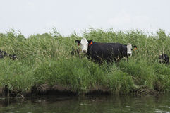 Cows in the River. These Cattle come to the water to drink, but leave behind manure in the river that fuels algae blooms and other environmental problems from Stock Images
