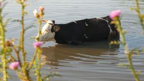 Cows on river. Cows Drinking In The Water Of River. cows drink water. stock video footage