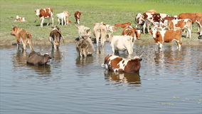 Cows on river Royalty Free Stock Photos