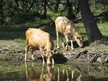 Cows at the river Royalty Free Stock Photo