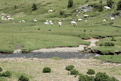 Cows and river in Pyrenees Stock Image