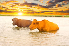 Cows in river at sunset Stock Image