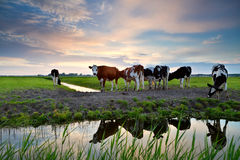 Cows by river at sunset Stock Photos