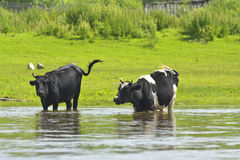 Cows in the river. Royalty Free Stock Photography