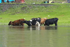 Cows in the river. Stock Photo