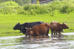 Cows in the river. Royalty Free Stock Photo