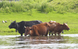 Cows in the river. Stock Photos