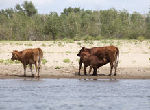 Cows at a riverbank Stock Photos