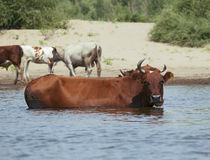 Cows at a riverbank. Cows drinking and swimming at a riverbank Stock Photography