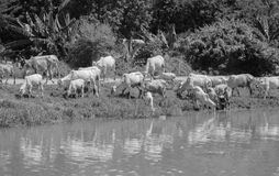 COWS AT A RIVERBANK DRINKING WATER. BLACK AND WHITE PHOTO OF COWS AT A RIVERBANK DRINKING WATER Stock Images