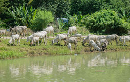COWS AT A RIVERBANK DRINKING WATER Royalty Free Stock Image