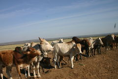 Cows road. A group of cows that is standing off road in Africa stock photography