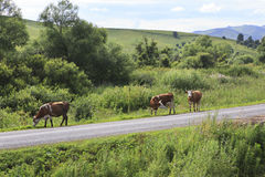 Cows on the road in Altai Mountains. Royalty Free Stock Photo