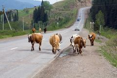 Cows on the road. A cow is a female of a domestic bull, a domesticated subspecies of a wild bull, a cloven-hoofed ruminant animal of the Poloro family Stock Photography