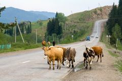 Cows on the road. A cow is a female of a domestic bull, a domesticated subspecies of a wild bull, a cloven-hoofed ruminant animal of the Poloro family Royalty Free Stock Image