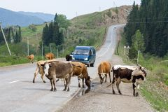 Cows on the road. A cow is a female of a domestic bull, a domesticated subspecies of a wild bull, a cloven-hoofed ruminant animal of the Poloro family Stock Image