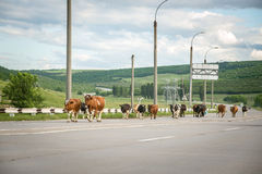 Cows on the road Royalty Free Stock Images