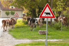 Cows on the road.Domestic animal.Outdoor. Cows on the road.Domestic animal sign warning grass symbol hazard livestock green cattle breeding sunshine arrow rural stock images