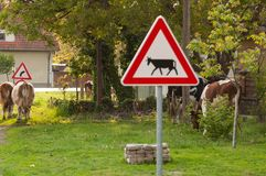 Cows on the road.Domestic animal.Outdoor. Cows on the road.Domestic animal sign warning grass symbol hazard livestock green cattle breeding sunshine arrow rural stock image