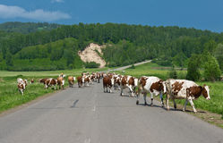 Cows on the road Stock Images