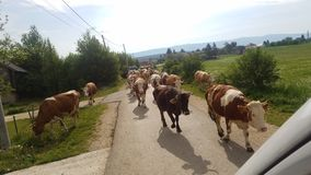 Cows on the road. royalty free stock photos