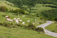 Cows and road Stock Photo