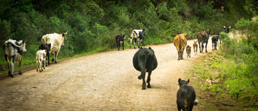 Calves and cows on the road, interfering the drive Royalty Free Stock Images