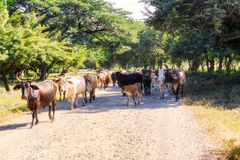 Cows on the road 39 in Nicaragua. Sharing the road with cows on route 39 in Boaco district of Nicaragua Royalty Free Stock Images