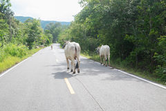 Cows on the road. People in rural husbandry a cow by let them live by itself, Shepherd duty is protect it from dangerous Royalty Free Stock Image
