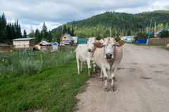 Cows on the road. Russia country cow road forest village Royalty Free Stock Photos