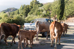 Cows on the road Royalty Free Stock Image