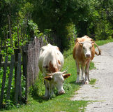Cows at road side. Two cows grazing and having a good time at the side of the road. This is in a village off the main roads in Romania Stock Photography