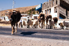 Cows in the road on a sunshine day Stock Photography