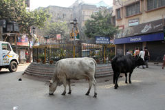Cows roam the streets of Kolkata. West Bengal, India Royalty Free Stock Photo