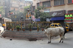 Cows roam the streets of Kolkata. West Bengal, India Stock Images