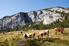 Cows at rofan Royalty Free Stock Images