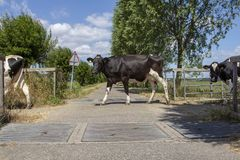 Cows in a row passing cattle grids. stock photography