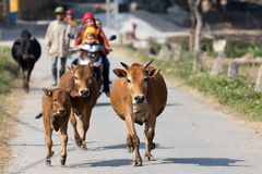 Cows running in countryside Stock Images