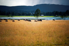 Cows in rural landscape stock image