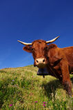 Cows. Rural scene. French cow with bell staring at the photographer Stock Photo