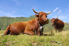 Cows. Rural scene. Grazing cows with mountains in background Stock Photo