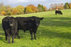 Cows in rural setting Stock Photos