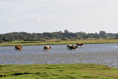 Cows on salt marshes. On the Baltic Sea royalty free stock photos