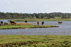 Cows on salt marshes. On the Baltic Sea stock photo