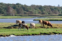Cows on salt marshes. On the Baltic Sea stock image